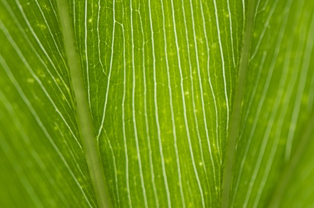 green leaf vein in a close up shoot, can be used as wonderful background texture Stock Photo - 13550605