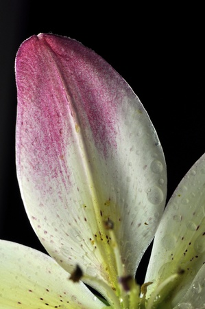 Shot by macro lens, pink and white lily shows very detail parts Stock Photo - 13487633