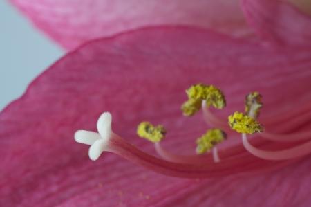 blooming Hippeastrum Vittatum close up shot by macro lens Stock Photo - 13778996