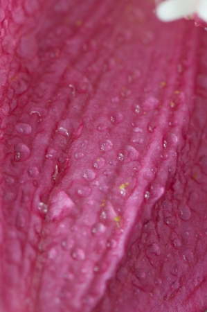 blooming Hippeastrum Vittatum close up shot by macro lens photo