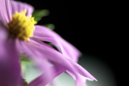 purple Cosmos bipinnatus shot with a close up lens   Stock Photo