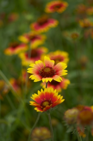 hirta: Flowers bed with various daisy, digitalis, and other autumn flowers, beautiful and colorful