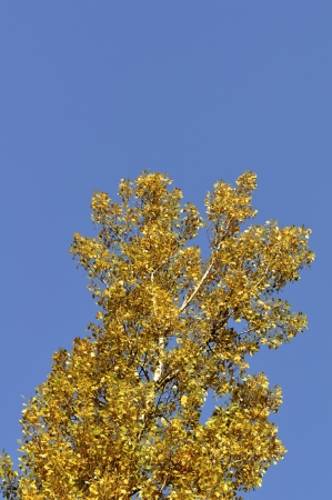 autumn gingko tree in a blue background  Stock Photo