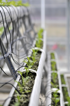 Modern agriculture of vegetable green house indoor