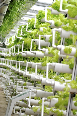 Modern agriculture of vegetable green house indoor photo