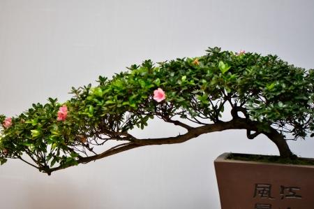 pot of miniscape of azalea tree in red