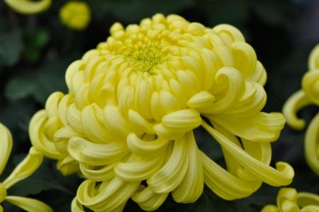 rare species of yellow Chrysanthemum looks like crab leg
