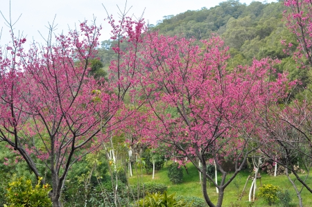 peach tree turns red flower, means spring is coming Stock Photo
