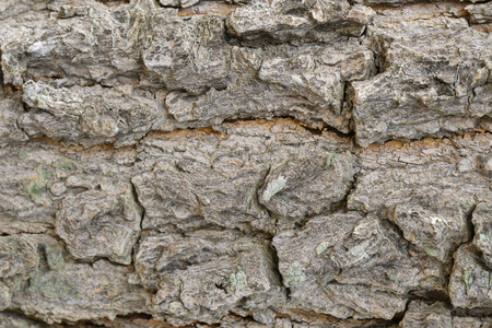 Bark of tree texture. Nature wood background.