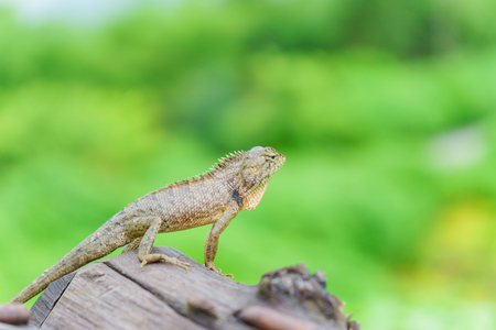 Lizard stand on the wood with nature green background Stock Photo