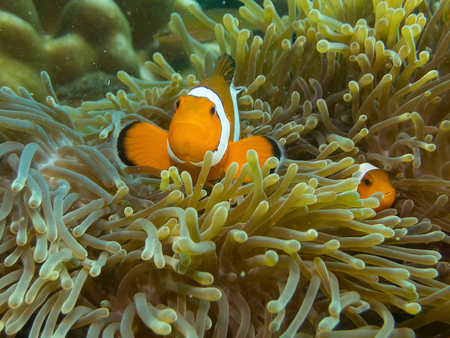Anemones (Clown)  fish hiding in coral reef for prevent dangerous from  people.Nature of underwater at Ko Lipe the Island in Thailand.