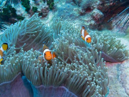 clown fish: Anemones (Clown)  fish hiding in coral reef for prevent dangerous from  people.Nature of underwater.