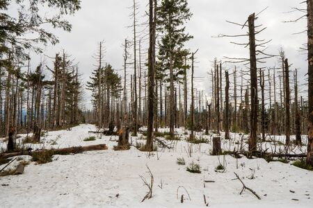 old forest damaged by fowl calamity in an area where logging is prohibited, old woods are historically without intervention by humans after attack by fowl in winter