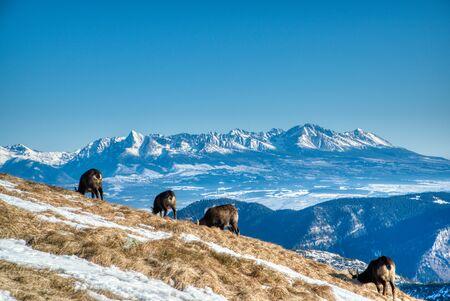 Mountain goats on mountain ridge graze in winter and in background is seen High Tatras, Slovakia Low Tatras