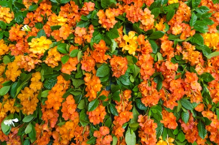Orange Paper flower is tropical flowers which is found in Brazil,South east Asia photo