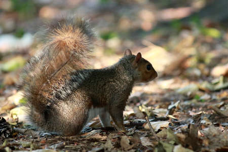 liflife of a squirrel while getting food, in the woods. it's really cute don't you think? There are also shots of other beautiful and cute animals, photos on Lake Varese in Italy Standard-Bild