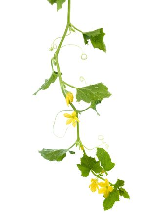 A cucumber vine isolated on white photo