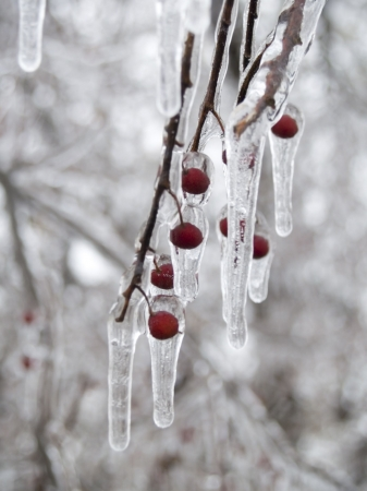 A tree branch with red berries coated with ice and icicles. Stock Photo - 6176684