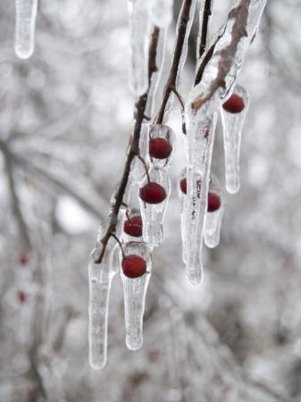 Een boom tak met rode bessen bedekt met ijs en ijs pegels.