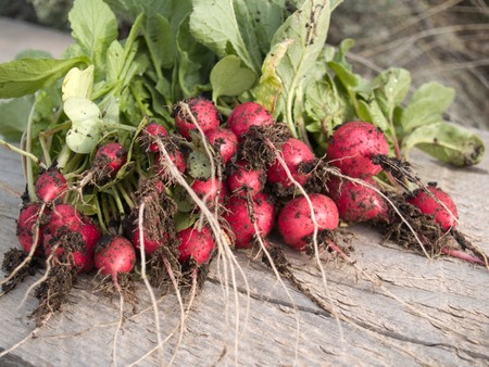 freshly picked: Early spring crop - fresh radishes from the garden