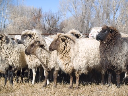 Navajo churro sheep have a colorful history - the breed was killed to nearly extinction 1865 by the US Government actions against the Dine, Navajo. The breed is now being revived again in the southwest.