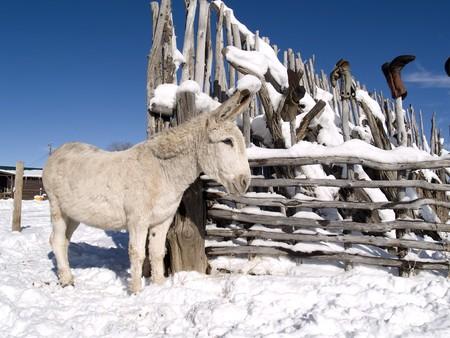 White winter donkey