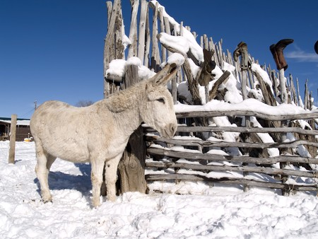 White winter donkey