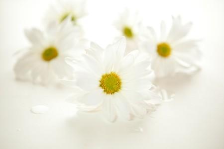 White daisies on white - shallow DOF