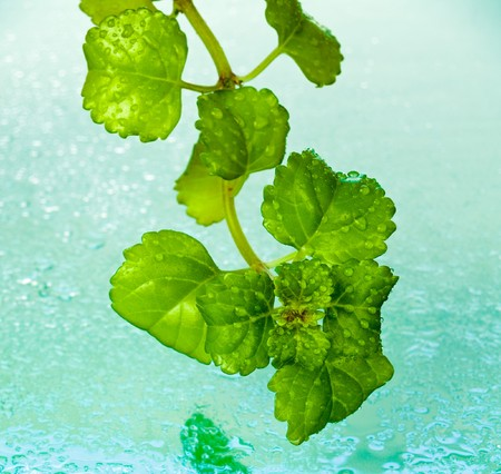 Dew drops on ivy leaves against wet turquoise background