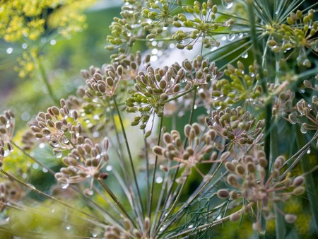 dill seed: Dill going to seed in the garden