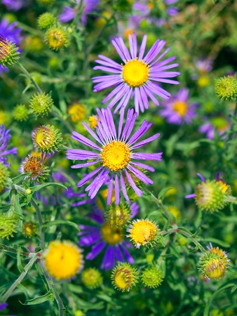 Aster bigelovii a wildflower of the southwestern USA