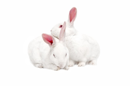 White bunnies isolated on white for easter