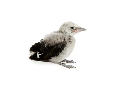 fledgling: Clark