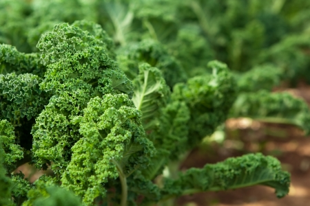 green leafy vegetables: Kale in an organic garden