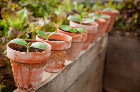 terra cotta: Squash seedlings in weathered terra cotta pots - shallow DOF, first seedling on left is the focus point