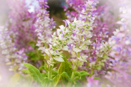 Clary sage, Salvia sclarea, in bloom