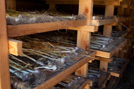 drying: Garlic in farm drying room Stock Photo