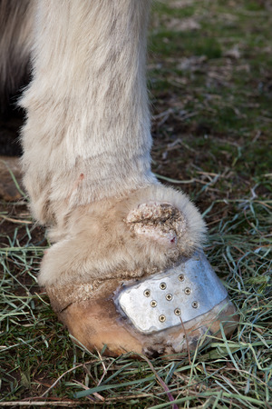 Equine chronic progressive lymphedema in Draft Horse, CPL