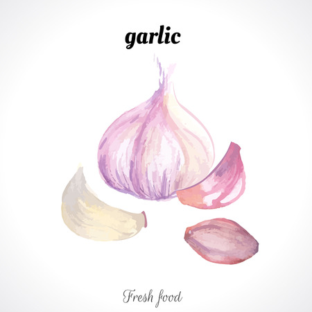 garlic: Watercolor garlic. Spice. Recent watercolor paintings of organic food.