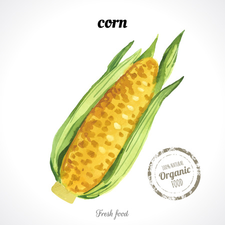 maiz: Maíz de la acuarela. Estilo provenzal. Acuarelas recientes de los alimentos ecológicos. Vectores