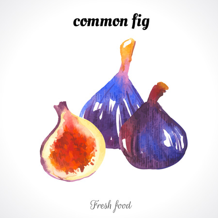 the nature: Watercolor common fig. Provencal style. Recent watercolor paintings of organic food. Fresh exotic fruit. Illustration