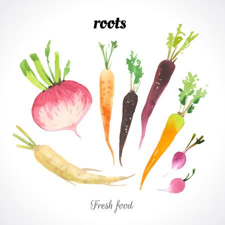 perejil: Ilustración de la acuarela de una técnica de pintura. Los alimentos frescos orgánicos. Estilo provenzal. Conjunto de raíces. Zanahoria, rábano y raíz de perejil.