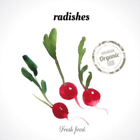 recent: Watercolor radishes. Provencal style. Recent watercolor paintings of organic food. Fresh vegetables.