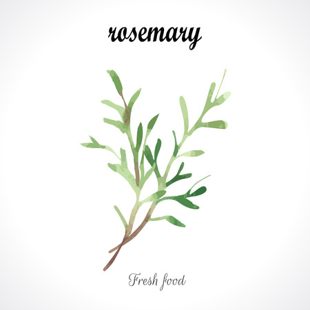 rosemary: Watercolor rosemary. Provencal style. Recent watercolor paintings of organic food