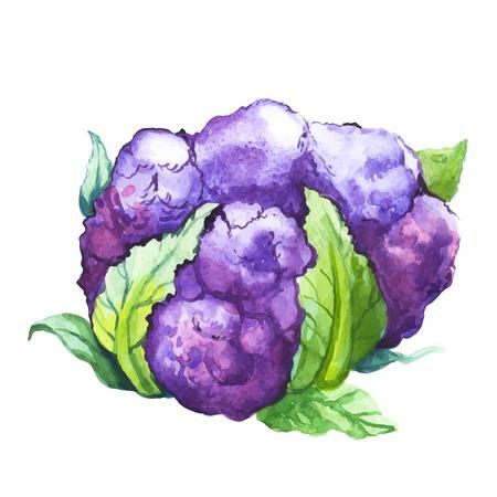 Watercolor illustration of a painting technique. Fresh organic food. Purple cauliflower.