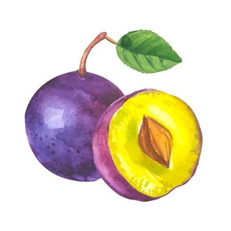 ciruela: ciruelo de la acuarela. acuarelas recientes de los alimentos orgánicos. Fruta fresca.