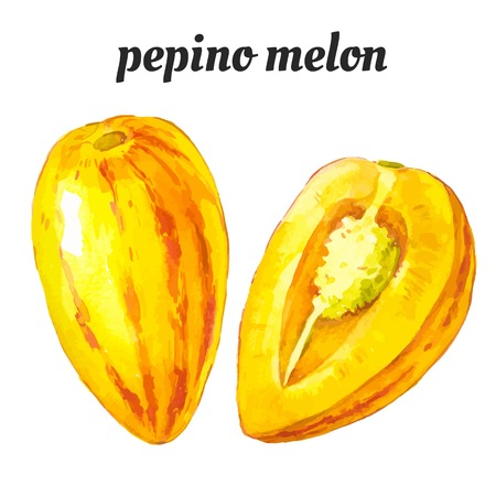 pepino: Vector illustration with watercolor fruit.illustration of a painting technique. Pepino melon. Illustration