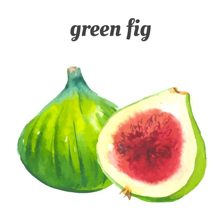 Green common fig. Provencal style. Recent watercolor paintings of organic food. Fresh exotic fruit. Vettoriali
