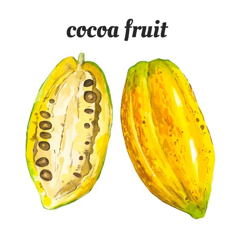 cocoa: Watercolor illustration of a painting technique. Fresh organic food. Cocoa fruit. Illustration