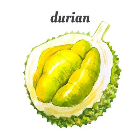 Durian: Watercolor minh họa của một kỹ thuật vẽ tranh. thực phẩm hữu cơ tươi. Quả sầu riêng